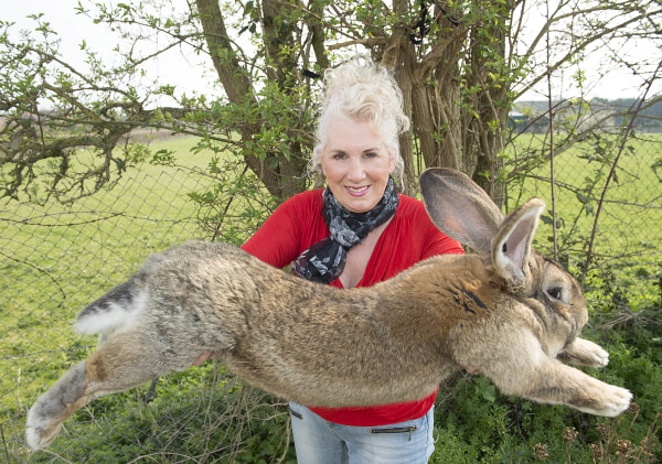 Image: Annette Edwards holds Darius, a giant rabbit