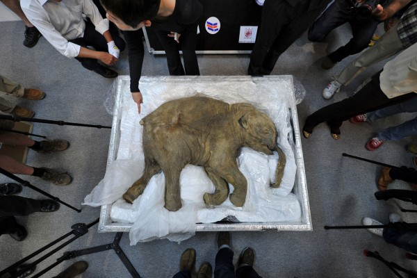 Image: The carcass of the world's most well-preserved baby mammoth, Lyuba