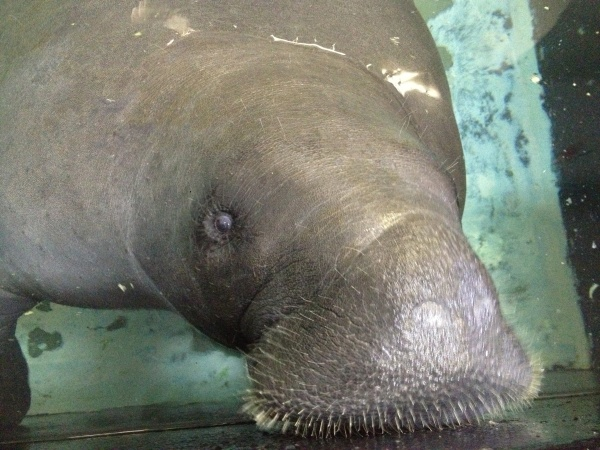 Image: Snooty, the world's oldest known manatee at the South Florida Museum