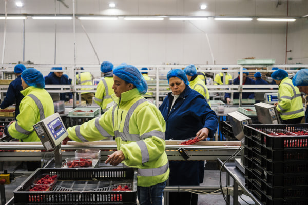 Image: Workers weigh punnets of raspberries before they are sealed for transport