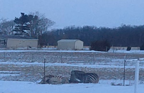 A zebra that froze to death after it was unable to reach shelter in the subzero temperatures