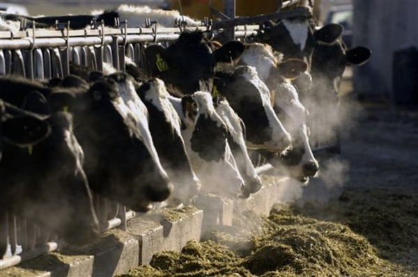 File photo of Holstein dairy cows