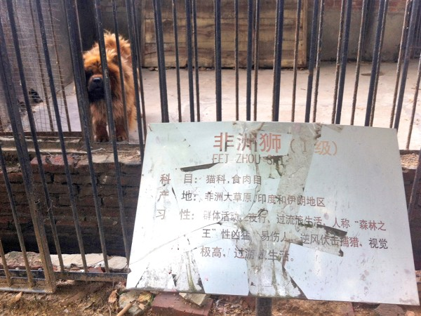 "In this photo taken Monday Aug. 12, 2013, a Tibetan mastiff looks out from a cage near a sign which reads ""Afrian lion"" in Luohe zoo in Luohe in centr..."