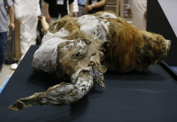 A 39,000-year-old female woolly mammoth, which was found frozen in Siberia, Russia