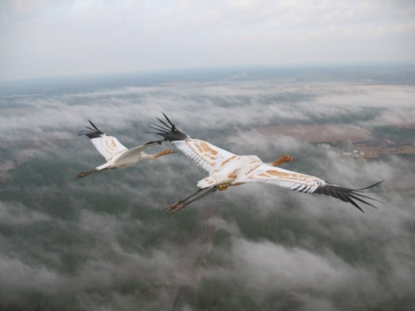 Young whooping cranes in flight.