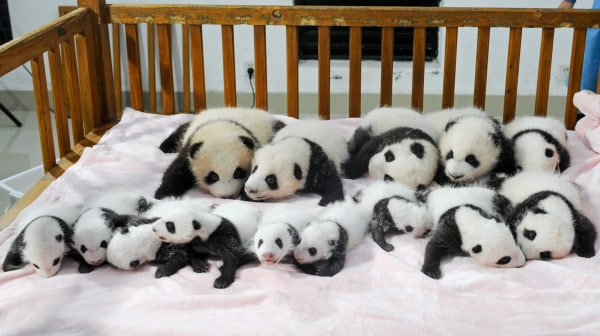 This picture taken on September 23, 2013 shows new-born panda cubs displayed on a crib during a press conference at the Chengdu Research Base of Giant Panda Breeding.