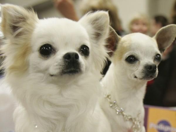 Image: Chihuahuas