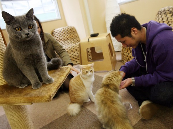 TOKYO - JANUARY 20:  A man plays with cats at Nekorobi cat cafe on January 20, 2009 in Tokyo, Japan. Cat cafes, where people can spend time with their...