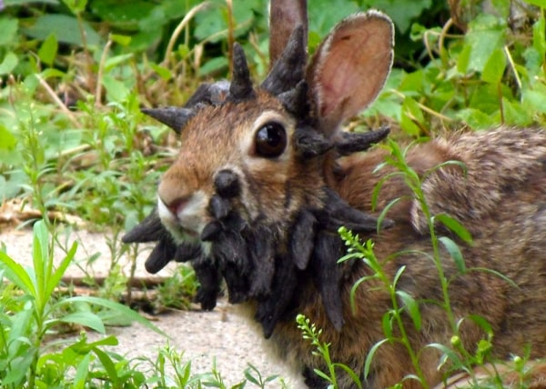 "This June 26, 2013 photo provided by Gunnar Boettcher shows a rabbit that Boettcher dubbed ""Frankenstein"" with what looks like a series of horns growi..."