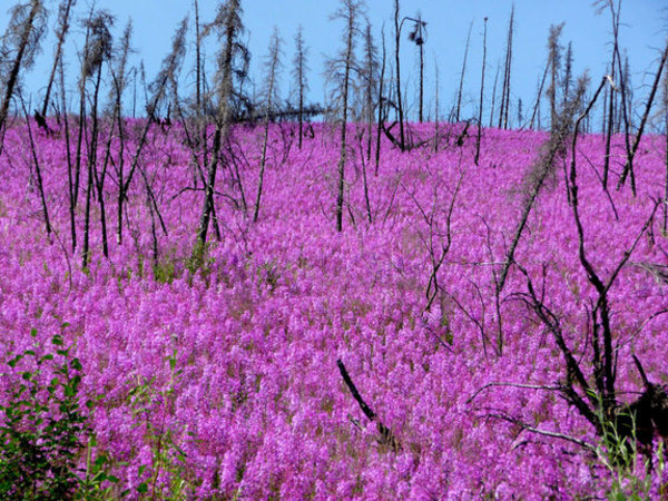 Fireweed, which is bright pink in color, is a plant that often grows after an area has been burned. Here, fireweed is shown blanketing parts of Alaska's Yukon Flats, a fire-prone boreal region.