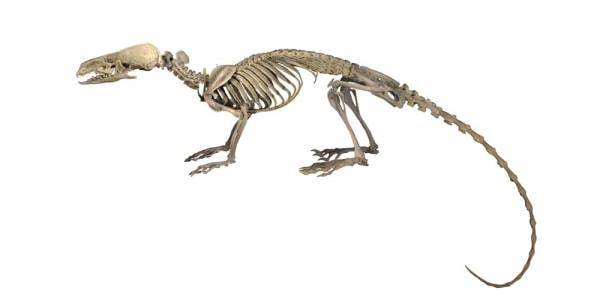 An illustration of the hero shrew's skeleton.