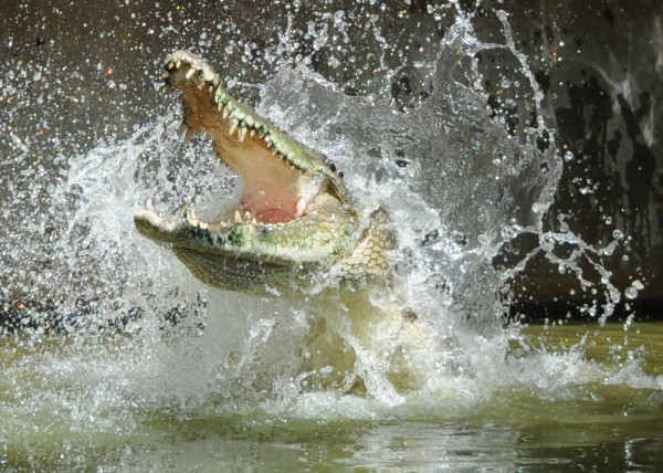 Image: Thrashing crocodile