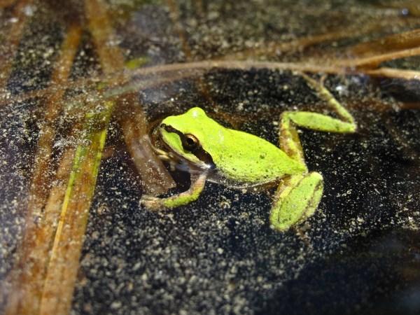 Image of a chorus frog