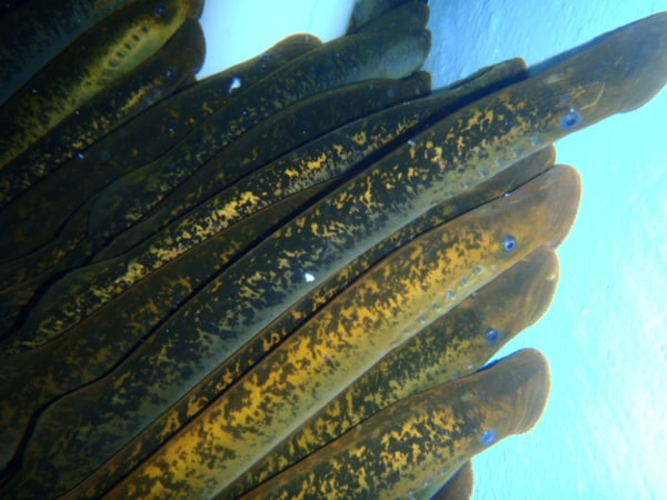A group of sea lamprey, an invasive species in the Great Lakes.