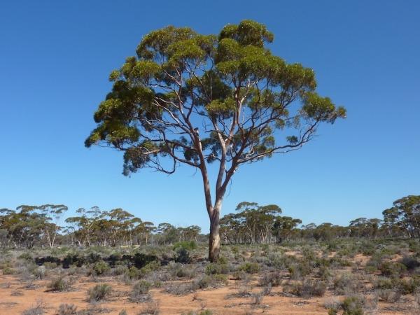 Image: Eucalyptus tree