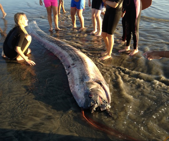 A 13.5 foot oarfish was found along the coast in Oceanside, Calif., on Friday, Oct. 18, 2013.
