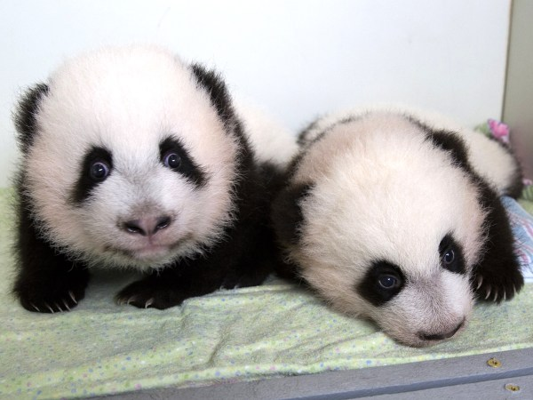 Image: Mei Huan, left, and Mei Lun, the first pair of twin giant panda cubs to be born in the United States and survive, are pictured on Wednesday at Zoo Atlanta.