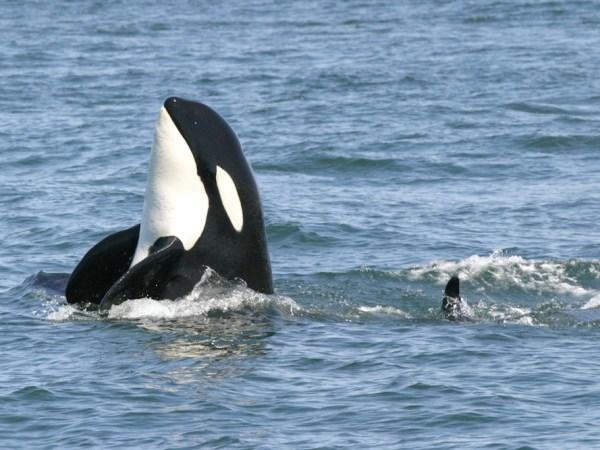 Image: Orca