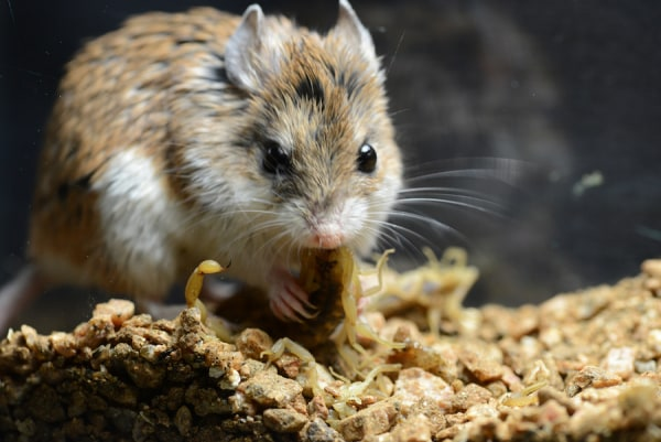 A grasshopper mouse with a mouthful of fresh-killed bark scorpion.