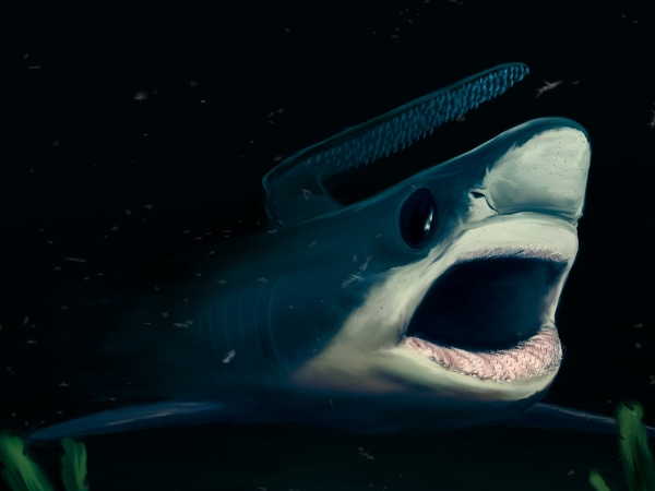 econstitution of the falcatid shark, one of the three cladodontomorph shark species discovered, in the depths of an ocean that covered what is now southern France 135 million years ago. As its relatives that lived more than 120 million years before, this small shark probably bore a hook-like protuberance over its head.