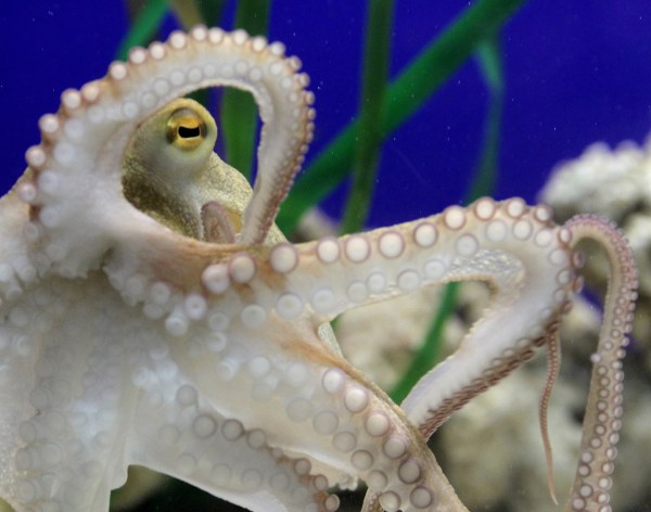 Octopus Paul II is pictured at the Sea Life Centre in the western German city of Oberhausen, Nov. 2, 2010.