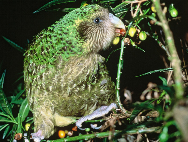 A Kakapo is seen in Chalky Island, New Zealand, in this undated photo provided by New Zealand Conservation Department.