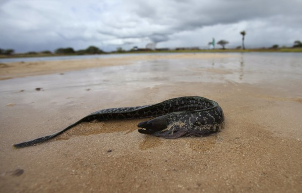 An eel that washed ashore tries to get back to the water in Keehi Lagoon after a massive molasses spill from a Matson cargo ship in Honolulu, Hawaii, ...