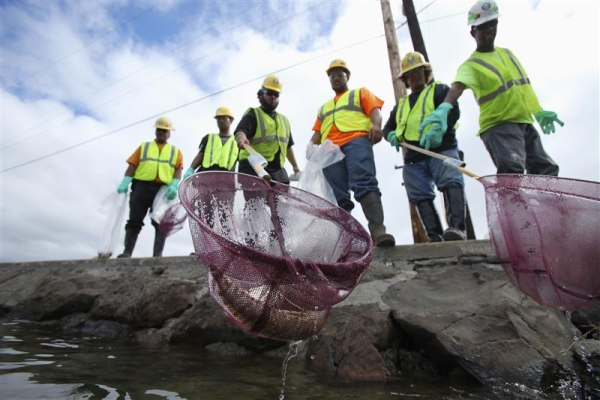 An environmental cleanup crew scoops a dead eel out of Keehi Lagoon after a massive molasses spill from a Matson cargo ship in Honolulu, Hawaii, Septe...