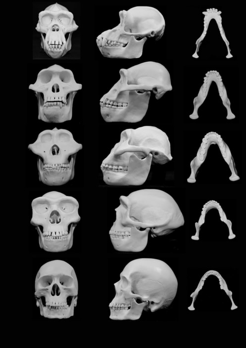 Image: Frontal and lateral views of skull reconstructions comparing chimpanzees with four hominins