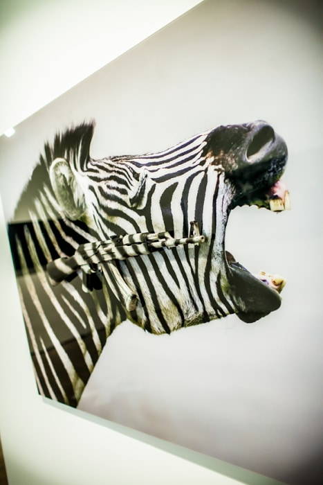 "Image: ""Screaming Zebras"" by Carl McCrow"