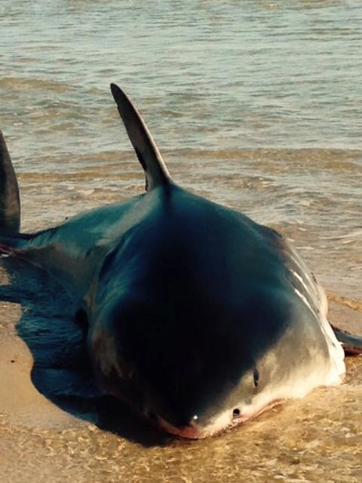 IMAGE: Shark beached on Cape Cod