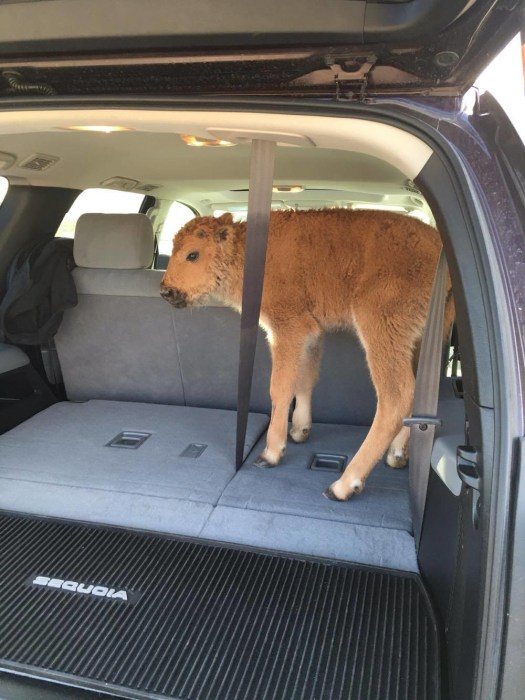 IMAGE: Bison calf in SUV
