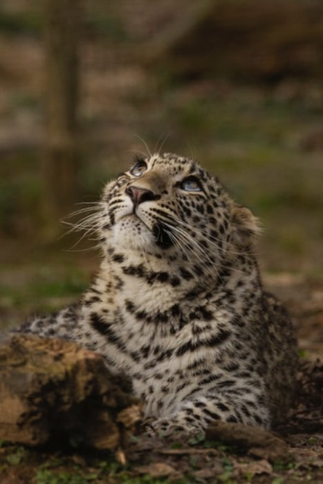 Image: Simbad the Persian leopard