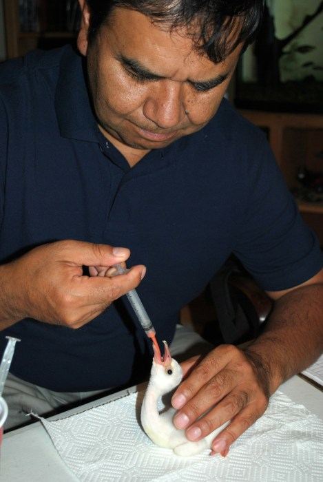 Omar Rocha feeding a recently hatched flamingo chick