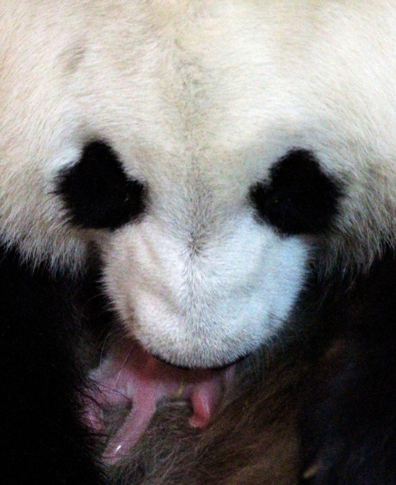 Image: Panda mom and cub