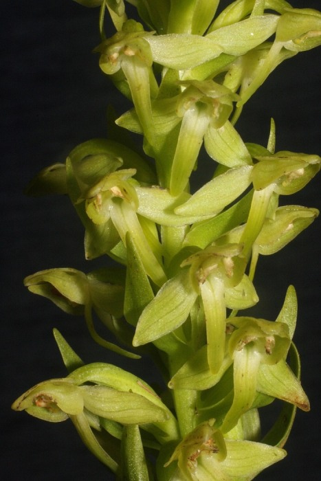 Hochstetter's Butterfly orchid