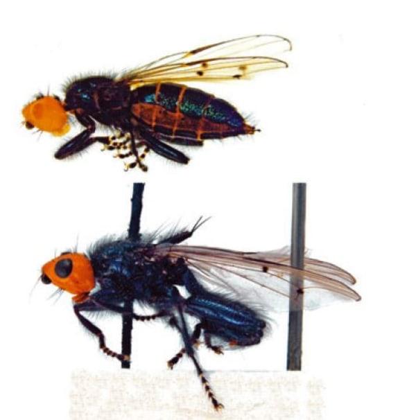 Fflies