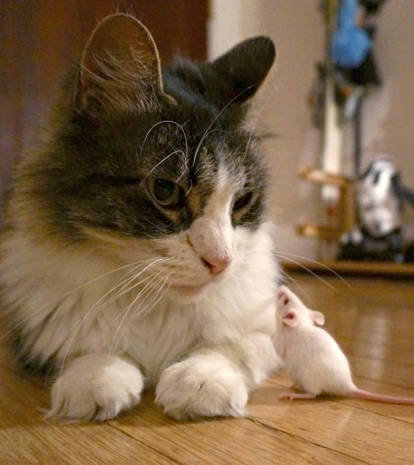Chronic infection with the parasite Toxoplasma gondii can make mice lose their innate, hard-wired fear of cats.