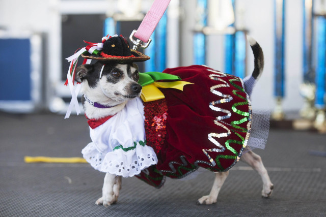 Image: A Chihuahua struts in a Mexican-themed festive outfit after the Chihuahua races held for the Si Se Puede Foundation's Cinco de Mayo Festival in Chandler