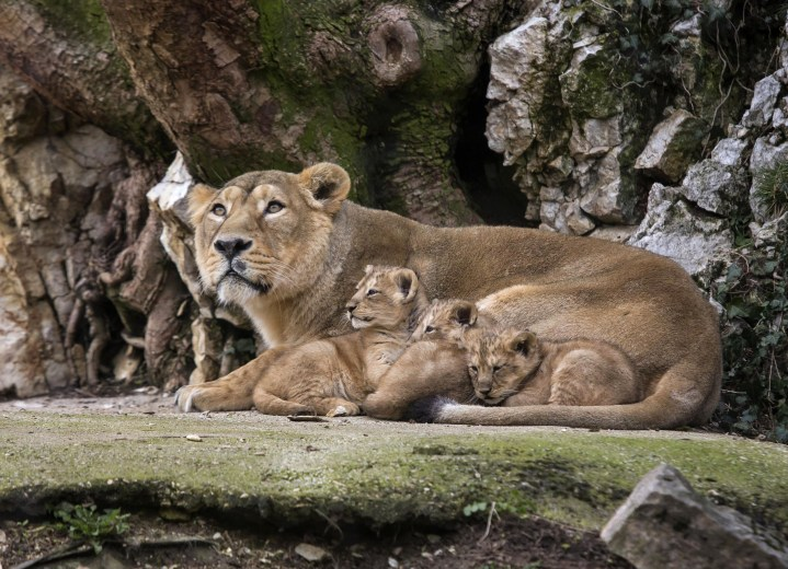 Image: Asiatic lion Shiva, the mother of the three unnamed cubs, sits with her cubs in the Besancon zoo, eastern France