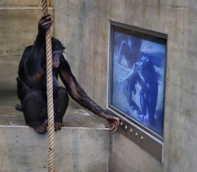 Bonobo apes in hi-tech German zoo go bananas for food, not TV porn.