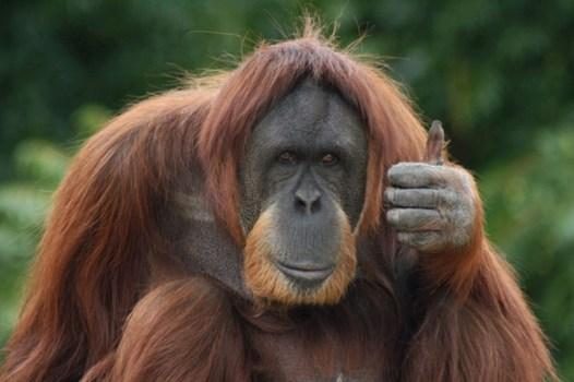 An orangutan making a thumbs-up gesture. The apes ... - Photos ...