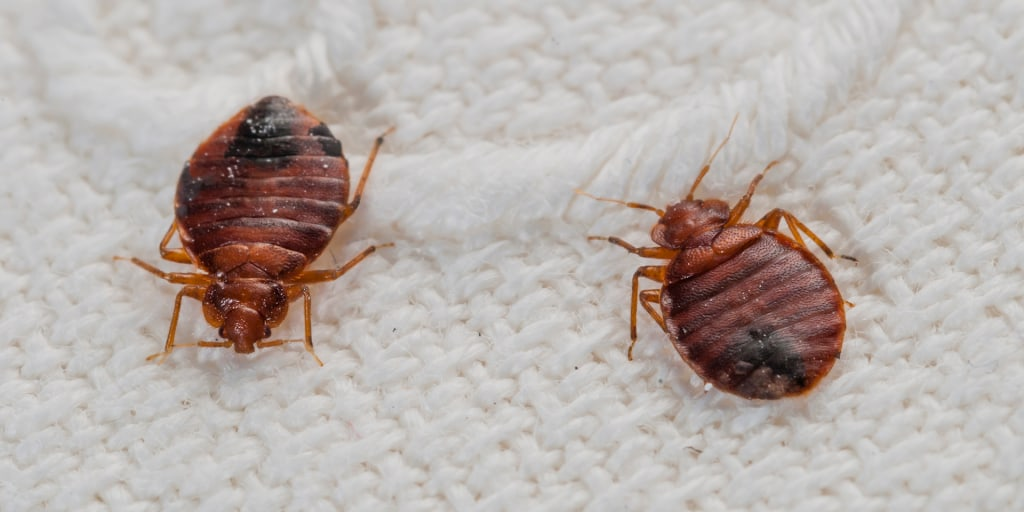 How To Get Rid Bedbugs, How To Get Rid Of Bed Bugs Sofa