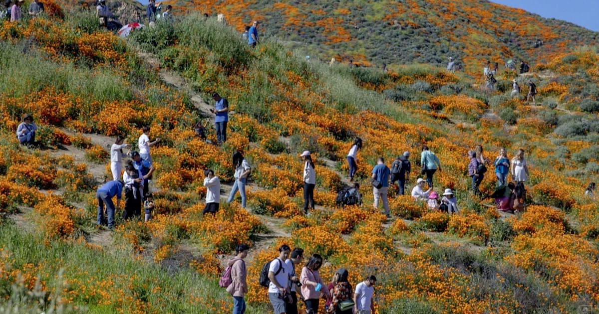 Super Bloom Of Wildflowers Draws Crowds In Southern