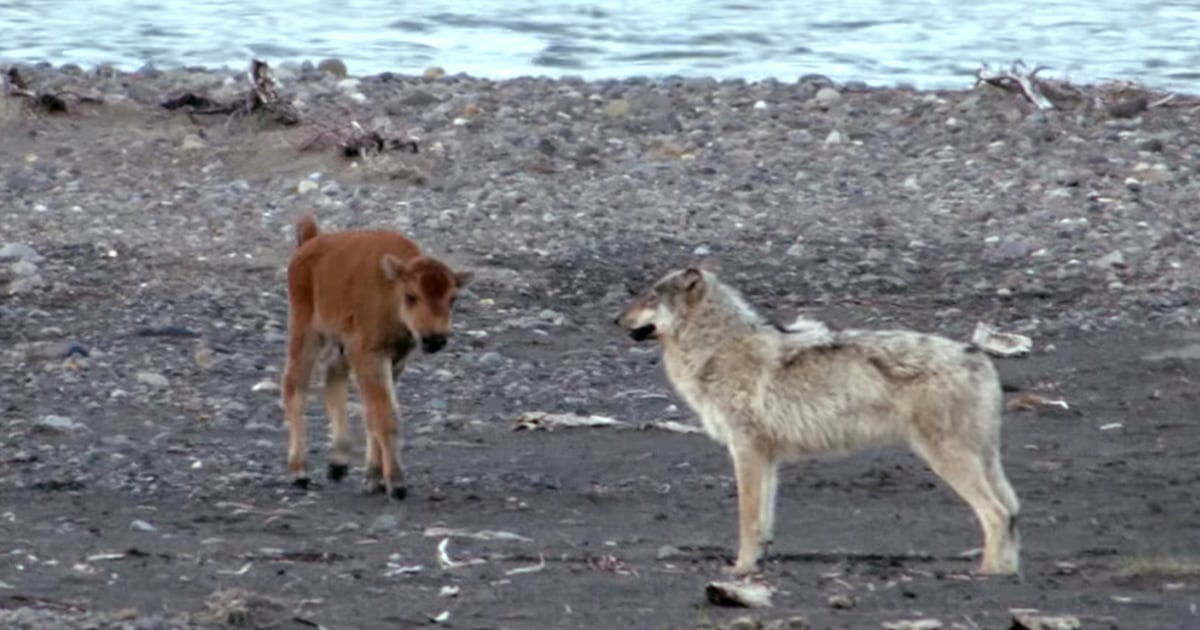 Baby Bison Defies Odds Holds His Own Against Hungry Wolf