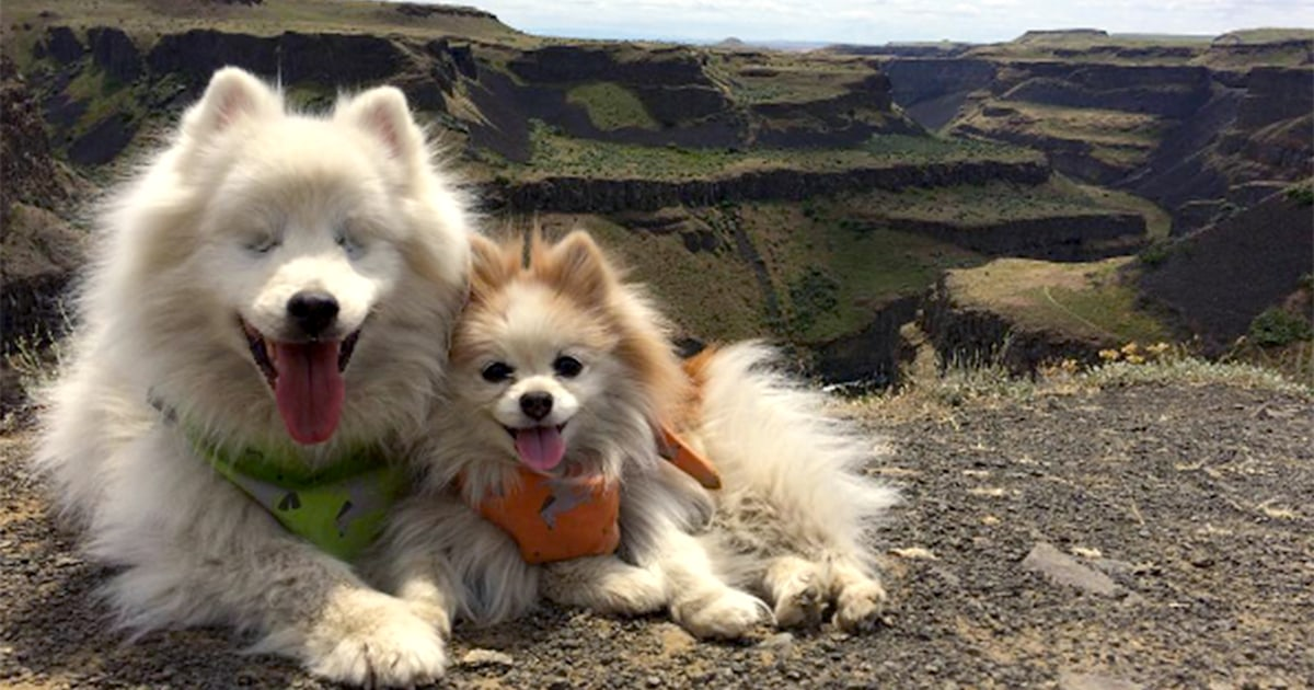 This Pomeranian Adorably Guides His Blind Best Friend Through Life