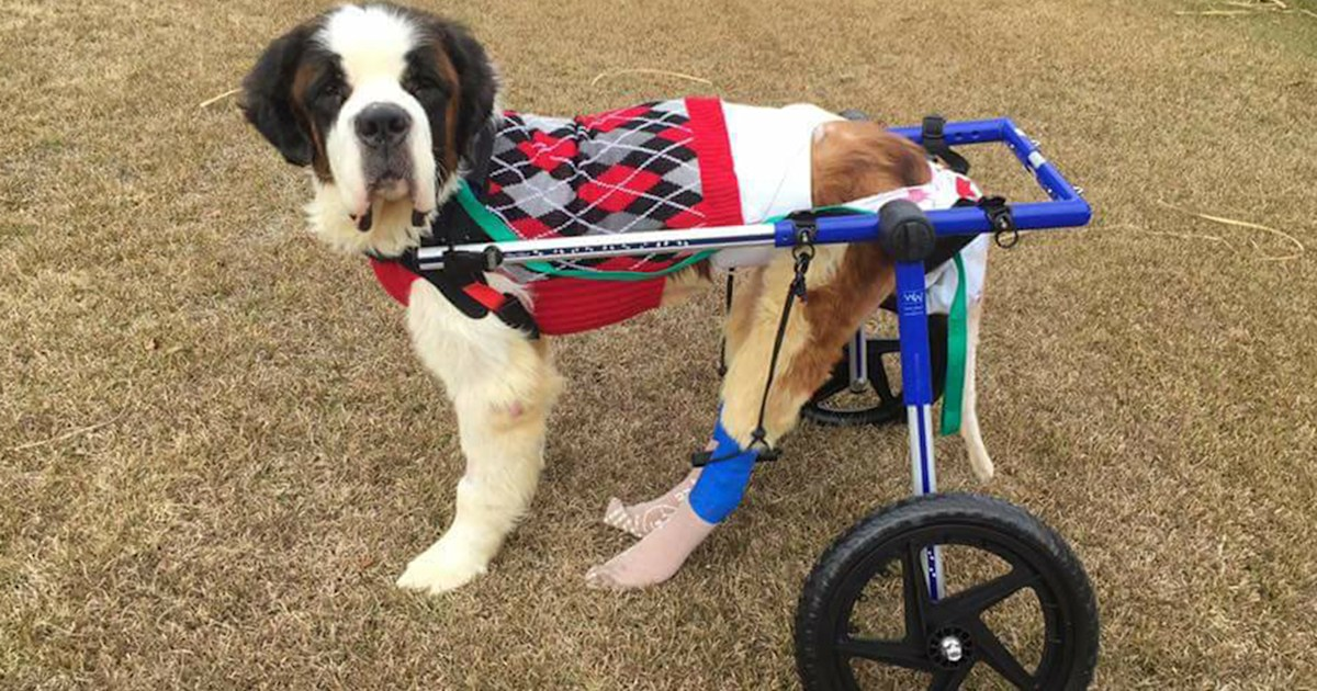 Dogs on wheels! One man's mission to help injured dogs with wheelchairs