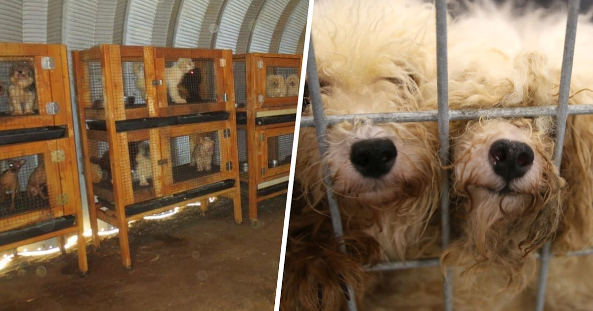 Texas puppy mill is busted, and 117 dogs, cats now have hope