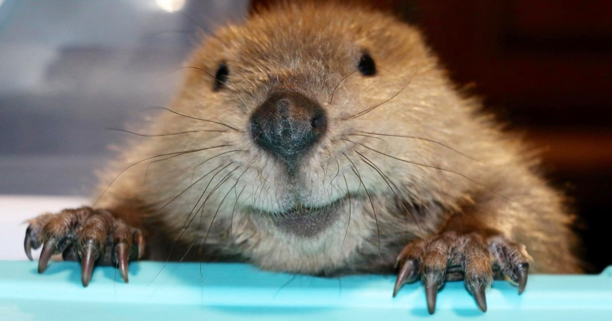 Justin Beaver Rescued As An Orphan Makes Dams Out Of Toys
