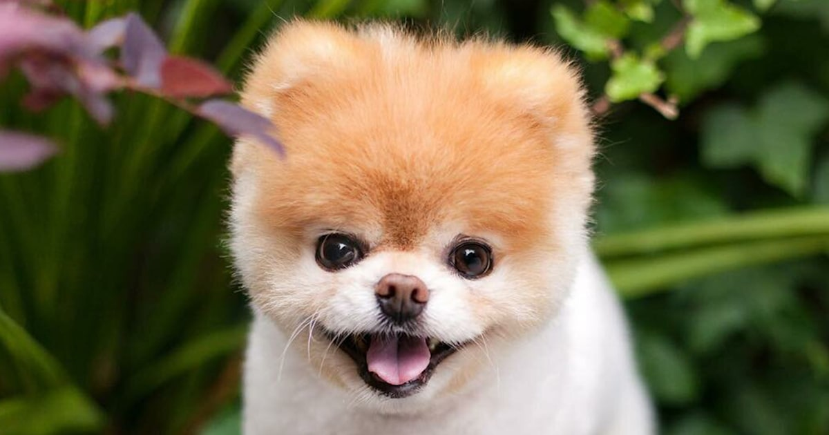 'World's cutest dog' Boo died of a broken heart, his owners say
